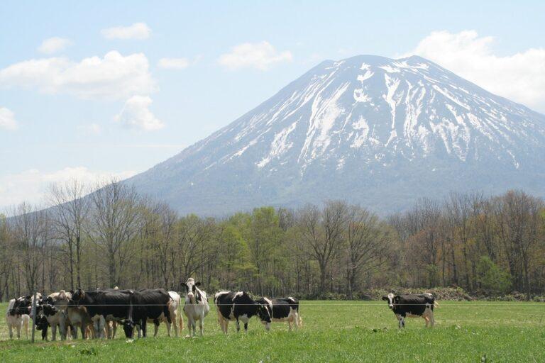 羊蹄と牛小
